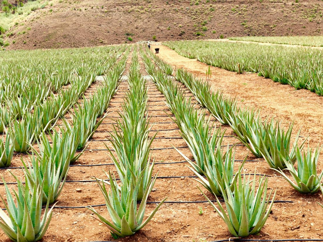 Gratis een Aloe Vera plantage bezoeken in Fataga Gran Canaria