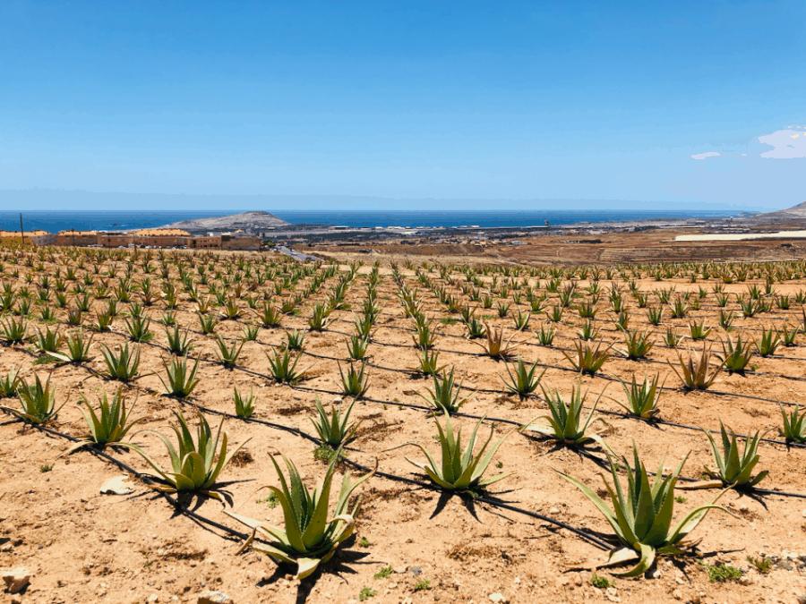 Jonge Aloe Vera plantjes op de Aloe Vera plantage in El Goro op Gran Canaria
