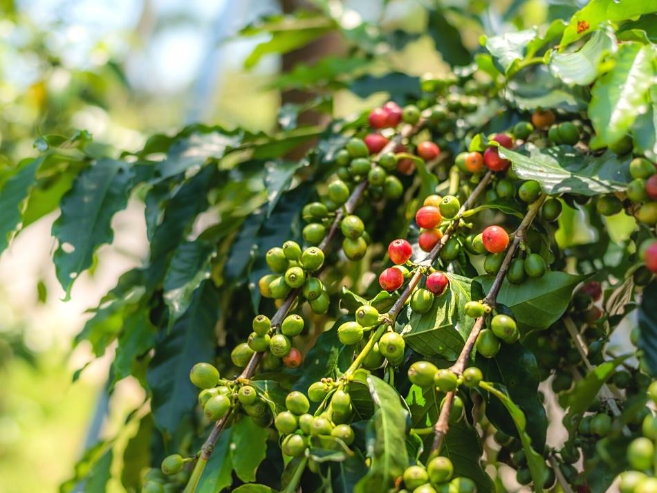 Koffieplanten op de koffieplantage in agaete op gran canaria de leukste buitenactiviteiten op gran canaria